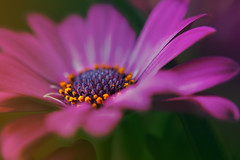Stand out from the crowd (Wim van Bezouw) Tags: gerbera flower nature plant outdoor colourfull sony ilce7m2