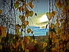 2016-11-19 Villers (3)weeping birch and sun kiss (april-mo) Tags: birch autumn deadleaves autumnleaves tree arbre automne weepingbirch