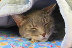 Millie 11 November 2016 1667Ri 4x6 (edgarandron - Busy!) Tags: millie graytabby cat cats kitty kitties tabby tabbies cute feline