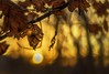 Another Autumn Sunset (Wes Iversen) Tags: bokehwednesday grandblanc grandblanccommons hbw michigan nikkor50mmf18 autumn forests leaves nature sunsets trees woods