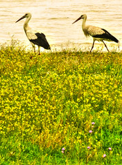 IMG_7802 aAnd2more_tonemapped-1 (Andre56154) Tags: spanien spain andalusien andalusia guadalquivir vogel bird storch stork tier animal ufer river flus blume flower