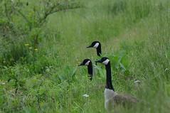 Goose Grass (golforchid) Tags: canadagoose brantacanadensis goose cherryhillreservoir