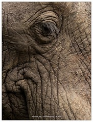 Details of an Elephant, South Africa (CvK Photography) Tags: africa africanelephant animals autumn big5 canon color cvk elephant fall holiday krugernp nationalpark nature southafrica wildlife krugerpark mpumalanga zuidafrika za