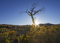 Colorful Dead (Middle aged Nikonite) Tags: nevada pyramid lake landscape desolate rural yellow flowers tree colors outdoor nikon d7200 sun flare branches