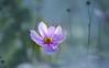 Through a haze (Steve-h) Tags: flowers nature natura naturaleza blossoms deadheads japaneseanemone pink orange blue green haze bokeh garden stalks stems canon camera lens ef eos pretty digital exposure steveh