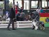 "The A Team Kenneles el Zar (Juango8a) Tags: ""pastor ovejero australiano"" ""australian shepherd"" juango8a ""juan ochoa"" juan ochoa gonzalo zuluaga"" aussie australiano colombia"" shepherd lagrancastacolombia"