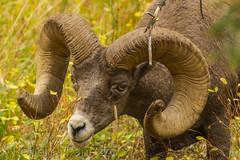 Seeing eye to eye (ChicagoBob46) Tags: rockymountainbighornsheep bighornsheep sheep ram yellowstone yellowstonenationalpark nature wildlife