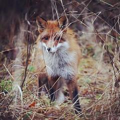 City fox (Aikoara) Tags: november autumn fall syksy naturephotography wildlifephotography helsinki finland fox kettu citykettu cityfox alppipuisto alppila hunter animalphotography winter