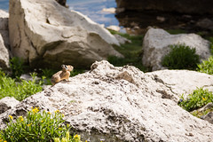 Squeak! (GlobalGoebel) Tags: canonef24105mmf4lisusm canoneos5dmarkiii 24105mm grand teton national park wyoming pika tetoncresttrail