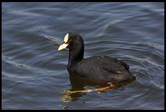 Tagua Comn - Red-gartered Coot (JJO_) Tags: birds birdsofchile chile valparaiso tagua coot aves canon photgraphy fotografia