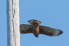 DSC_5404.jpg Red-shouldered Hawk, UC Santa Cruz (ldjaffe) Tags: redshoulderedhawk ucsantacruz