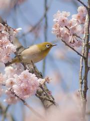Japanese White-eye (Polotaro) Tags: flower bird nature pen olympus 桜 sakura 花 自然 zuiko ep1 prunus 鳥 寒桜 さくら サクラ 目白 ペン メジロ オリンパス カンザクラ ズイコー ツバキカンザクラ 椿寒桜 fzuiko300mmf45