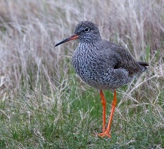 Redshank Revisited (Geographyman) Tags: bird nature legs wildlife redshank wader canon70300mml