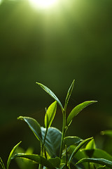 Sunshine Oolong Tea  (olvwu | ) Tags: new morning light sun mountain macro tree green sunshine sunrise spring ray tea country taiwan fresh growth  bud shoots lugu raysoflight oolong  nantou oolongtea  tealeaf newleaf   jungpangwu oliverwu oliverjpwu nantoucounty     olvwu jungpang lugutownship