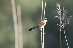 / Penduline Tit / Remiz pendulinus (Panayotis1) Tags: birds canon aves greece animalia passeriformes redbackedshrike lanius chordata laniuscollurio laniidae canonef400mmf56lusm imathia    66 tafros66 kenkopro300afdgx14x