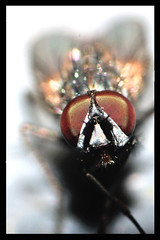 A Portrait of Seth Brundle (Mark Humphreys (Tweeniesmustdie)) Tags: macro closeup garden insect buzz fly thefly jeffgoldblum davidcronenberg sethbrundle