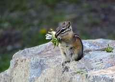Enjoying Lunch (njchow82) Tags: nature bokeh wildlife banffnationalpark lakeminnewanka canadianrockies yellowpinechipmunk beautifulexpression worldofanimals nancychow canonpowershotsx30is