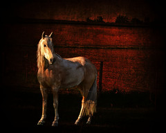 Palomino at Sunset (keeva999) Tags: horses texture nature animals rural fence spring nikon shadows farm country iowa farmanimals frenchkiss boccacino d3100
