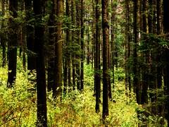 Wall of trees (Ivan Alex) Tags: world wood blue trees green alex nature beautiful wall forest photography big kodak ivan fresh planet oxigen