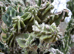 Gnarly Cactus (The Brit_2) Tags: gardens botanical texas tx south christi corpus