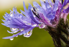 Wet, Wet, Wet (rosejones1uk) Tags: pink blue flower macro green water closeup droplets purple refraction macromonday