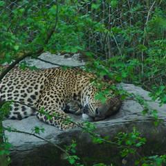 Sri Lankaaanse panter (Arnold Metselaar) Tags: zoo leopard cropped burgerszoo panter dierentuin pantherapardus zoogdier srilankanleopard srilankapanter pantheraparduskotiya srilankaansepanter gotfotomeet