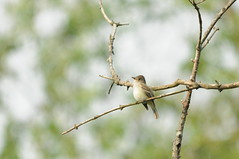 DSC_0164 (Putneypics) Tags: bird spring vermont flycatcher empidonax willowflycatcher empidonaxtrailli putneypics