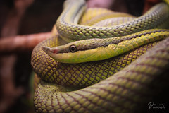 Snake Eye (Maria_Photographs) Tags: travel wild green eye nature animal closeup canon vintage photography snake wildlife