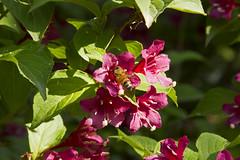 Giardino di Ninfa (vanto5) Tags: park trip travel italien italy garden spring flora italia blossom bee latina italie lazio canonef24105mmf4lisusm giardinodininfa canoneos7d ninfagardens cisternadilatina