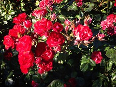 Rosebunch (Brisan) Tags: california ca flowers red roses usa leaves garden san jose bunch sjc sanjoseheritagerosegarden rosebunch uploaded:by=flickrmobile flickriosapp:filter=nofilter