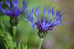 centaurea (focallocus) Tags: uk flowers blue nature garden ian photo nikon availablelight centaurea sooc d5100 focallocus