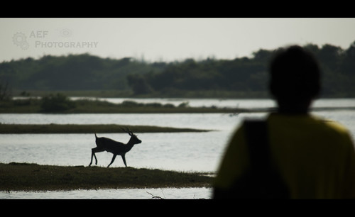 Watching the blackbuck