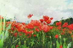 Primavera (Diego Miras) Tags: primavera amapolas campodeamapolas