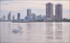 city swans (Mr.  Mark) Tags: light lake toronto ontario blur love water swim evening photo swan nikon soft dusk stock markboucher d5200