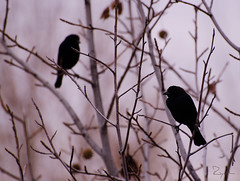 blackbird.jpg (.el Ryan.) Tags: naturaleza argentina paisaje mendoza popular 70300mm lente raras chacrasdecoria