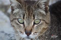 El Gato III 2013_06_06 076 (caren (Thanks for 1 Million+ views)) Tags: cat katzen felidae tierfotografie hauskatze felinae katzenfotos catphotography carenpolarbears