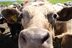 I Am Not A Number - Oh Yes, I Am!!! (Munki Munki) Tags: cow teesside muzzle inyourface rspb eartag saltholme