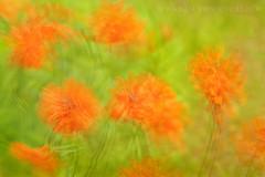 Poppy Whimsy (KvonK) Tags: orange june multipleexposure poppy poppies inmybackyard icm inmygarden 2013 dsc2743 kvonk