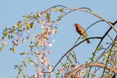 20130427_4244.jpg (RGarey) Tags: new house male birds newjersey wildlife finch jersey housefinch rlgphotossmugmugcom
