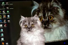 Percy - Persian Cat (Evandro Badin) Tags: cats cat gato felino percy persa