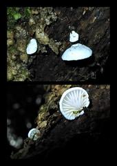 Ferntree Selection_049 (gadims) Tags: fungi wellington tasmania range ferntree
