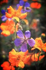 Colour (Magryciak) Tags: flowers newzealand christchurch orange flower nature garden purple southisland canoneos 2010