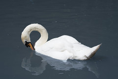 Swan (James s Wall) Tags: uk england lake reflection nature water birds animal animals kent swan wildlife photograph