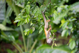 Hang, Squirrel Monkey