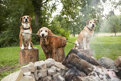 S'mores Anyone? (minus the chocolate ;)) - 33/52 (miss_n_arrow) Tags: camp dog dogs project outdoors fire for golden log kirby cook logs canine retriever roast campfire bonfire marshmallow stump sit weeks 52 52weeksfordogs