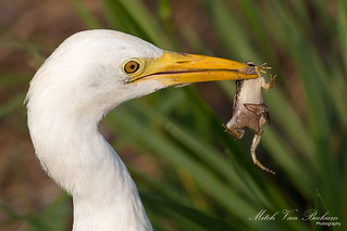 Play Time - Cattle Egret