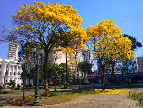 Ipê amarelo - Curitiba - Paraná