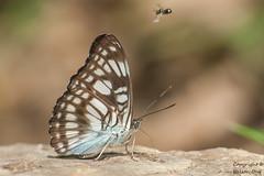Athyma ranga obsolescens (Black Veined Sergeant) (Kawsy) Tags: black macro nature butterfly insect thailand nikon bangkok butterflies micro nikkor sergeant ranga veined nikkor105 athyma kaeng d700 tc20iii krachang obsolescens sb910