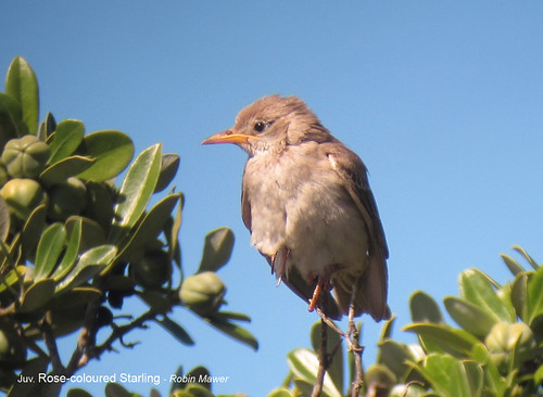 """Rose-coloured Starling on St. Agnes at Santa Warna Cove. Sat.140913. (R.Mawer) • <a style=""""font-size:0.8em;"""" href=""""http://www.flickr.com/photos/30837261@N07/9901971515/"""" target=""""_blank"""">View on Flickr</a>"""