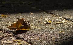 (hector.sg) Tags: chile santiago hoja canon arbol trabajo practica otoño t3 frio desnudo